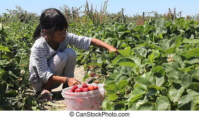 Girl Picks Fresh Strawberries - A cute little seven year old...