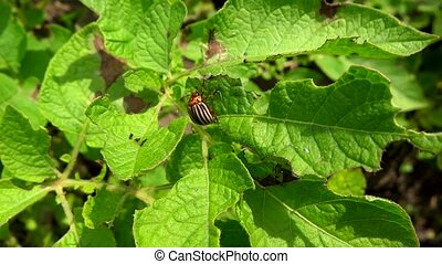 Colorado beetle eating leaves