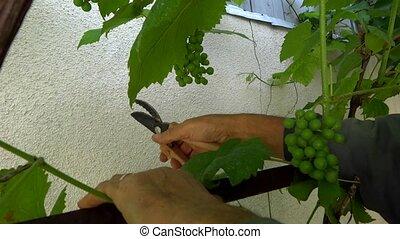 person cut vine leaves