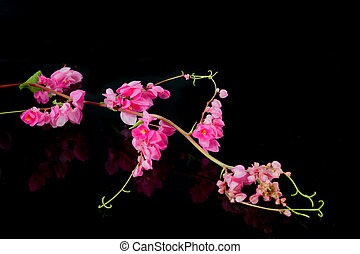 Pink flower on a black background. (Coral Vine, Mexican...