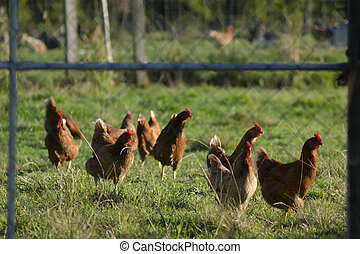 Free hens - Free range egg-laying hens in a chicken farm.