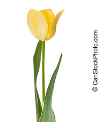 Tulip isolated on white. EPS 8