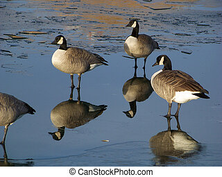 Mirror like images of Canada geese standing on water covered...