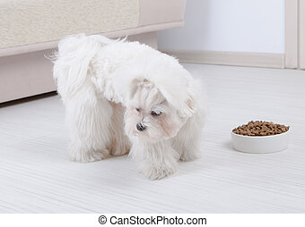Dog refusing to eat dry food - Little dog maltese refusing...