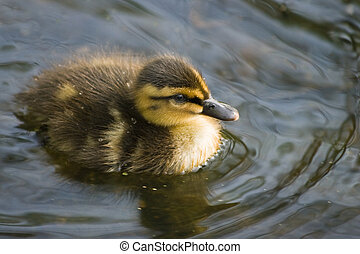Small duckling in spring - Small cute duckling in spring...