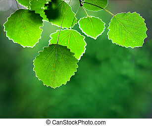 aspen leaves - Close up of aspen leaves on smooth green...