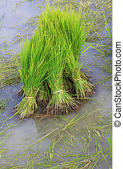 Rice Sprouts in the Rice field