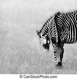Two Zebras Feeding - Black and white image of two zebras...