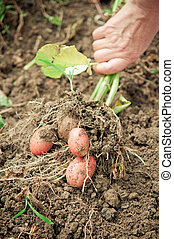Harvesting potatos - Hand pulling potato plant from soil.