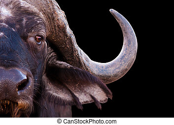 African Buffalo - Close up image of an African cape buffalo