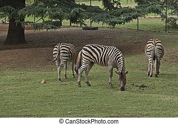 Burchells Zebra feed in Johannesburg zoo
