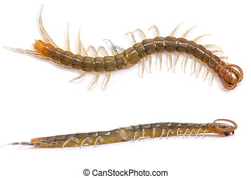 Centipede on white background .