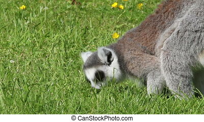 Ring-tailed lemur foraging - Ring-tailed lemur Lemur catta...