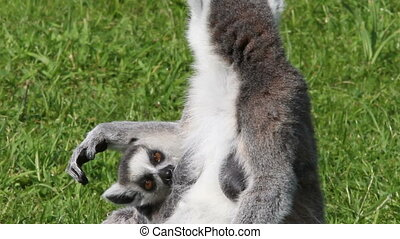 Young Ring-tailed lemur drinking milk from its mother