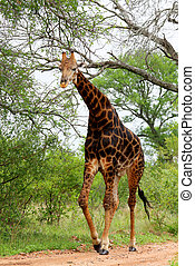 Giraffe in Kruger park South Africa - Giraffe in Kruger park...