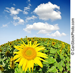 sunflower field - fish-eye