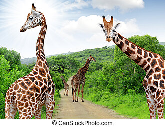 Giraffes in South Africa - Giraffes in Kruger park South...