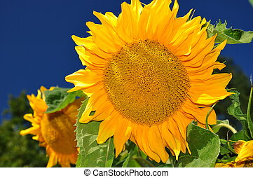 Beautiful sunflowers with blue sky background