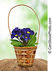 Primrose in pot on green background - Primrose in pot with...