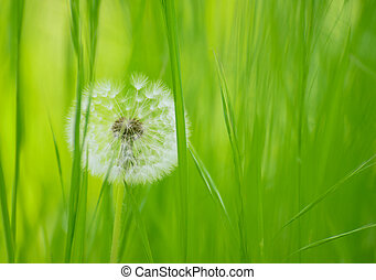 Dandelion Flower in a Green Meadow - Dandelion Flower in a...