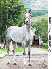 gray racing arabian stallion