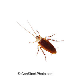 Brown cockroach isolated over white background