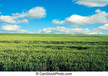 Young wheat - Field of the young and green wheat