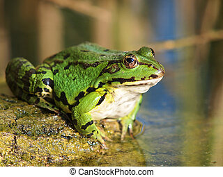 green frog and reflection in the water