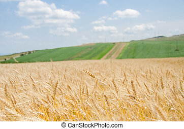 Wheat field with a green landscape background and a blue sky