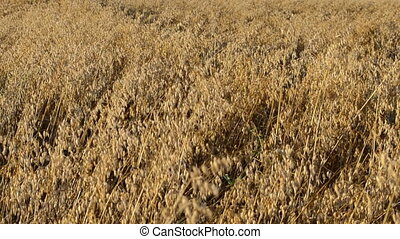 closeup oat field autumn - closeup ripe agriculture oat...