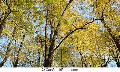 colorful maple tree leaf - colorful autumn maple tree...