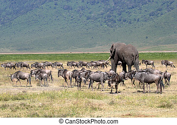 African elephant and herd of wildebeest - Huge african...