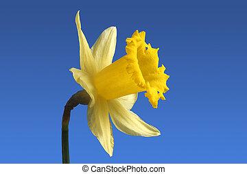 An English daffodil. - An English daffodil flower.