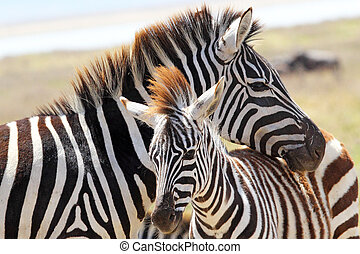 Baby zebra with mother - A baby zebra (Equus Quagga) and his...