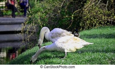 Swans in a public park,