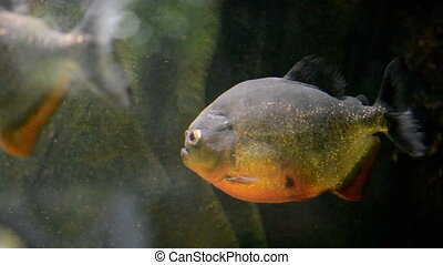 piranha - Tropical piranha fish