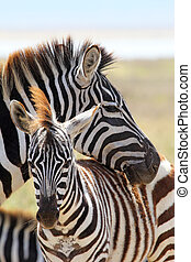 Baby zebra with mother - A baby zebra Equus Quagga and his...