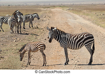 Baby zebra with mother - A group of common zebras Equus...