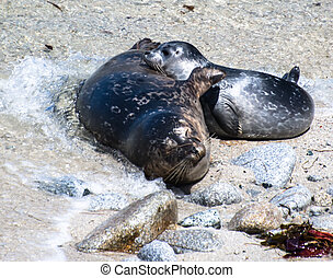 harbor seal, mother and pup