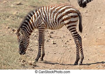 Baby zebra - A shaggy baby zebra Equus Quagga