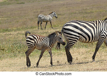 Baby zebra with mother - A baby zebra Equus Quagga walking...