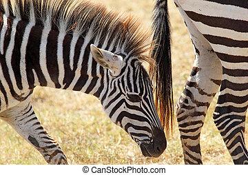 Closeup of a baby zebra - A youbg zebra Equus Quagga walking...