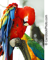 red macaw Isolated - A closeup head shot of a red macaw bird