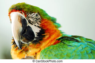 Macaw Bird Green and Yellow Color Head Closeup - An isolated...