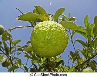 Citrus aurantium Linn, Sour Orange, Idlimbu
