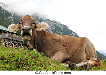 An Austrian cow with bell, relaxing on a mountain in Tirol,...