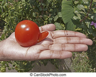 Cherry tomato - Cherry, tomato