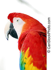 Red Macaw Bird - A closeup head shot of a red macaw bird