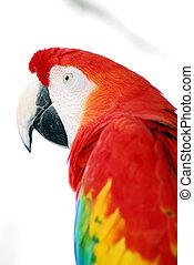 Red Macaw Bird - A closeup head shot of a red macaw bird