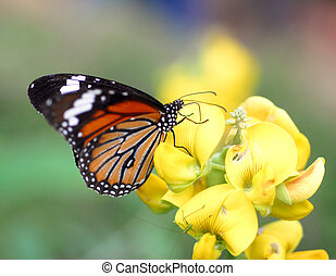 Orange Tiger Butterfly insect - An isolated shot of orange...